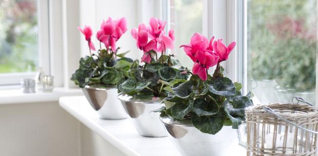 ciklama biljka cvijet dom zima